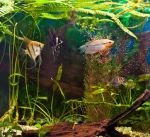 fish angelfish in a tropical fish tank with many plants